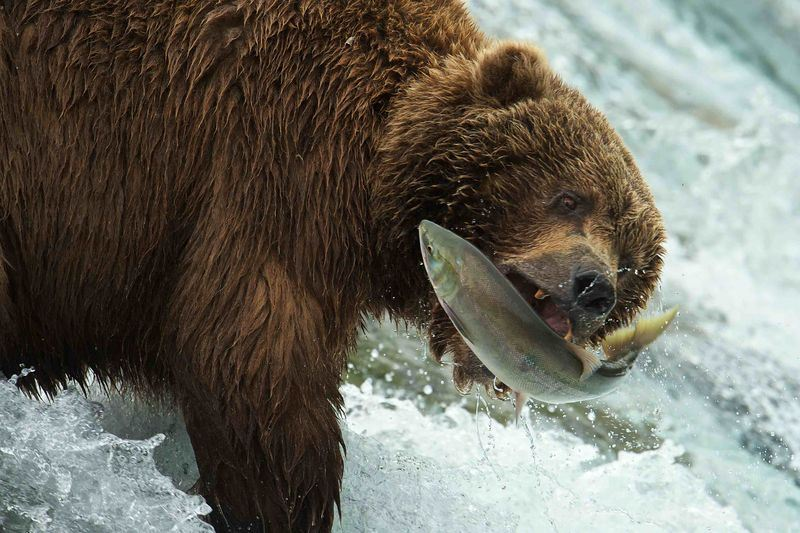 Image of bear catching jumping salmon